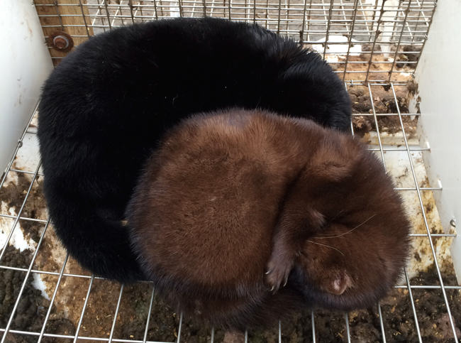 mink farm, mink mating, mink breeding