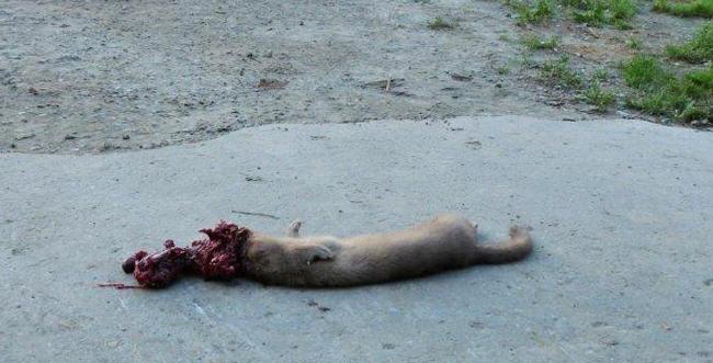 mink liberation, dead mink, ALF, animal liberation front