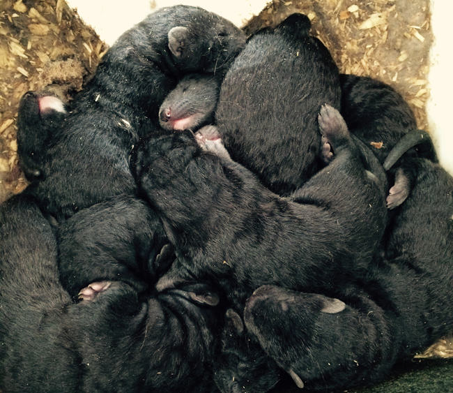 mink farm, mink kits, mink young, mink babies, whelping, weaning