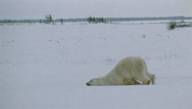 polar bear, video, bear