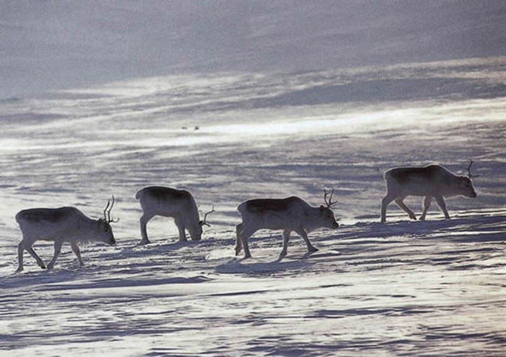 Peary caribou, facts about fur, caribou, Nunavut