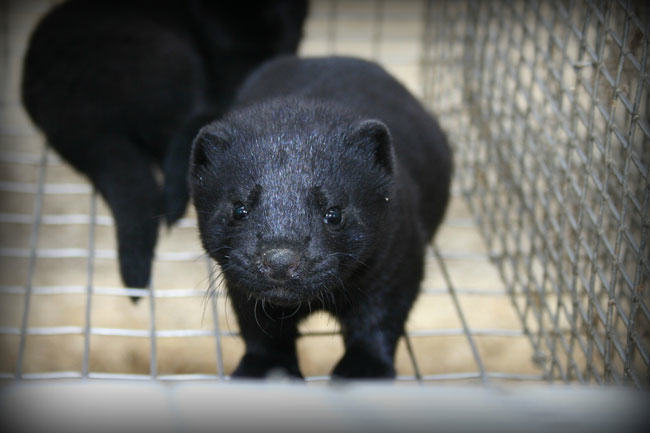 mink farm, mink kits
