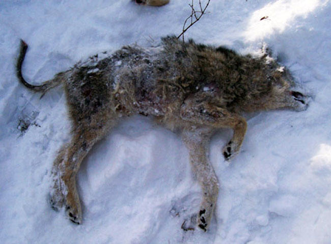 animal rights, coyote, sarcoptic mange