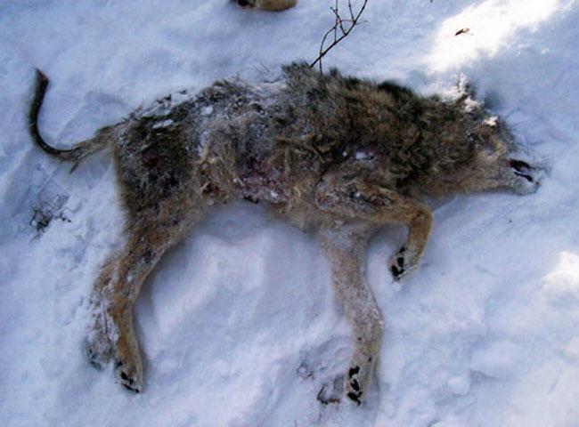 animal rights, coyote, sarcoptic mange