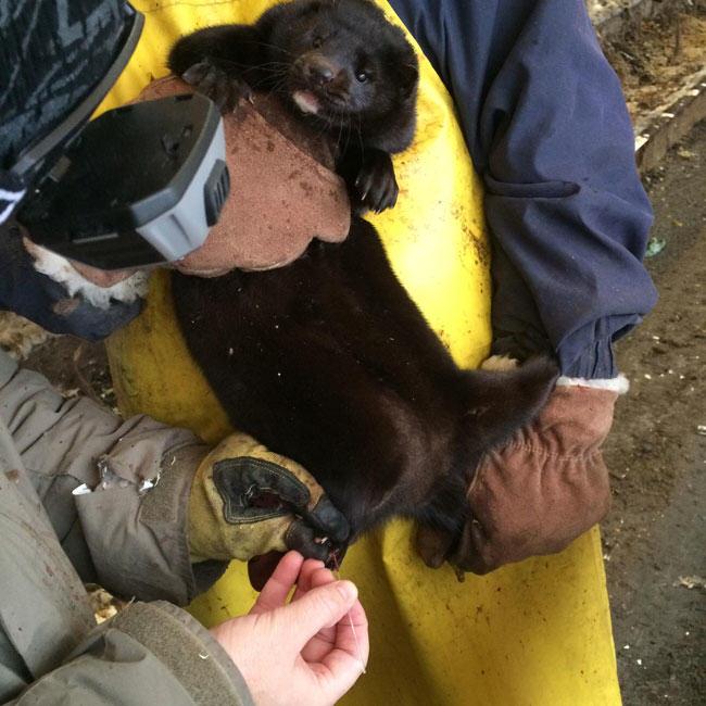 blood sample, mink, mink farm