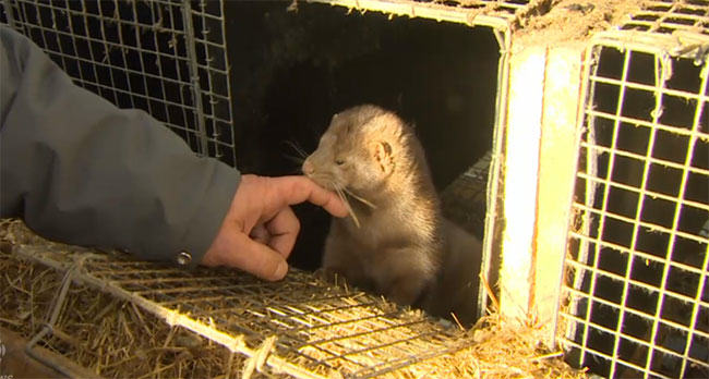 fur farming, mink farm, canada, is mink farming ethical, fur in the news