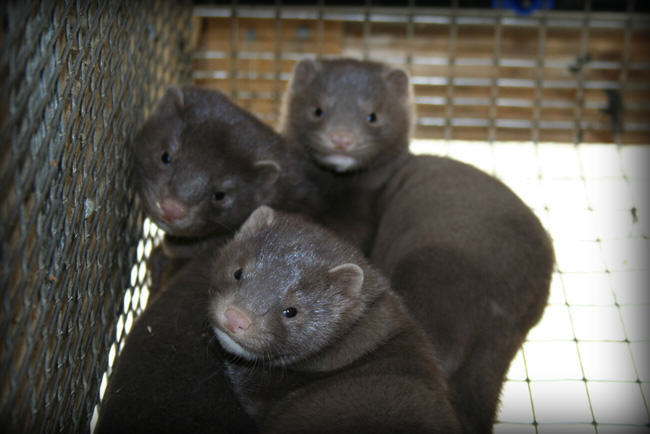 A Year on a Mink Farm. Part 4: Fur Time