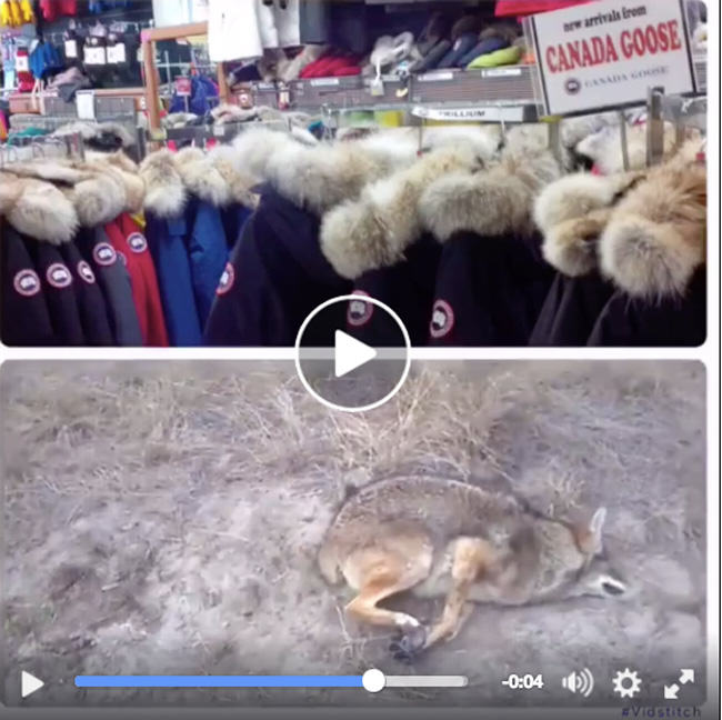 where does canada goose get their coyote fur