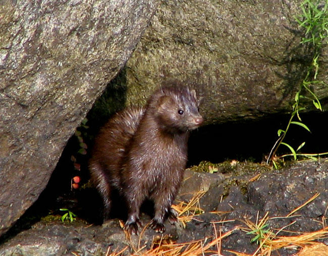 Why Is American Mink the World's Favourite Fur?
