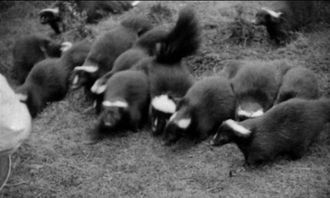 Skunk farm, skunk farming, skunk fur