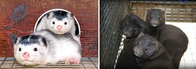 farmed-mink-siblings