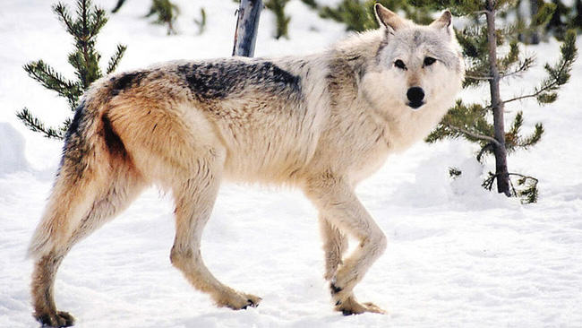 Great Lakes wolves, gray wolf