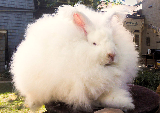 Angora rabbit, PETA, wool
