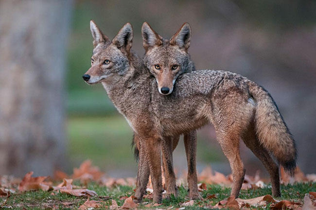 coyote, trapping, animals, trappers, wildlife