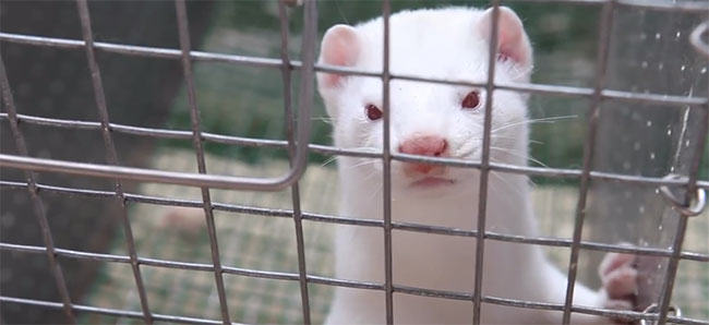 mink farm, fur farm, skinned alive, animal rights, animal activists