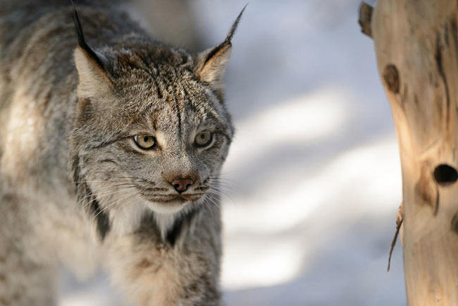 lynx, trapping, maine, trapper, fur trade, trapping victory in Montana