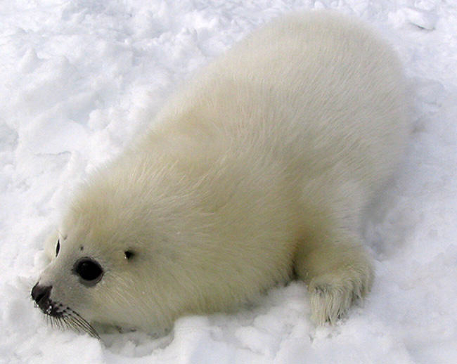 animal activists lie about baby seals