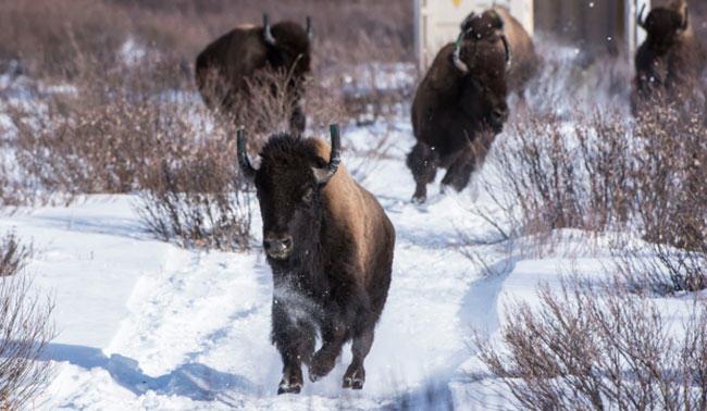 bison, alberta, banff
