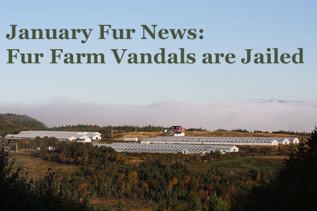 January Fur News: Fur Farm Vandals Are Jailed