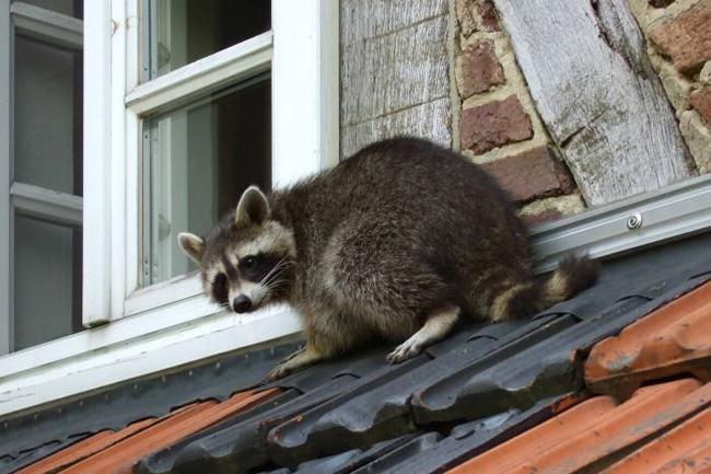 wild furs, raccoon, rabies