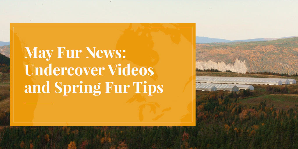 May Fur News: Undercover Videos and Spring Fur Tips