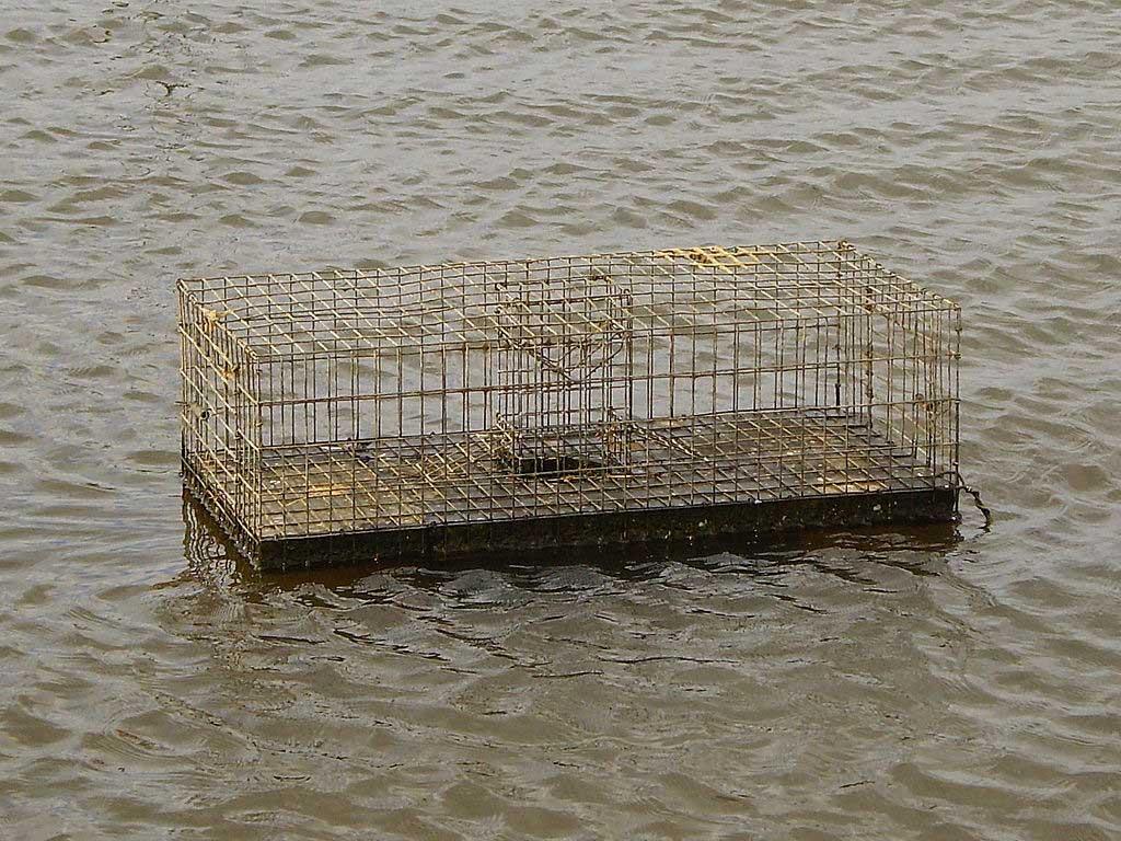 Muskrat trap in the Netherlands