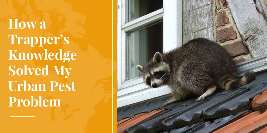 raccoon is urban pest