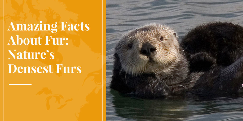sea otters have the densest fur