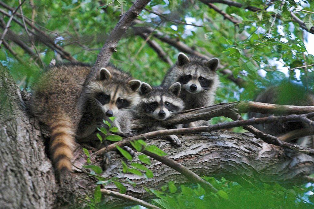 raccoons are abundant furbearers