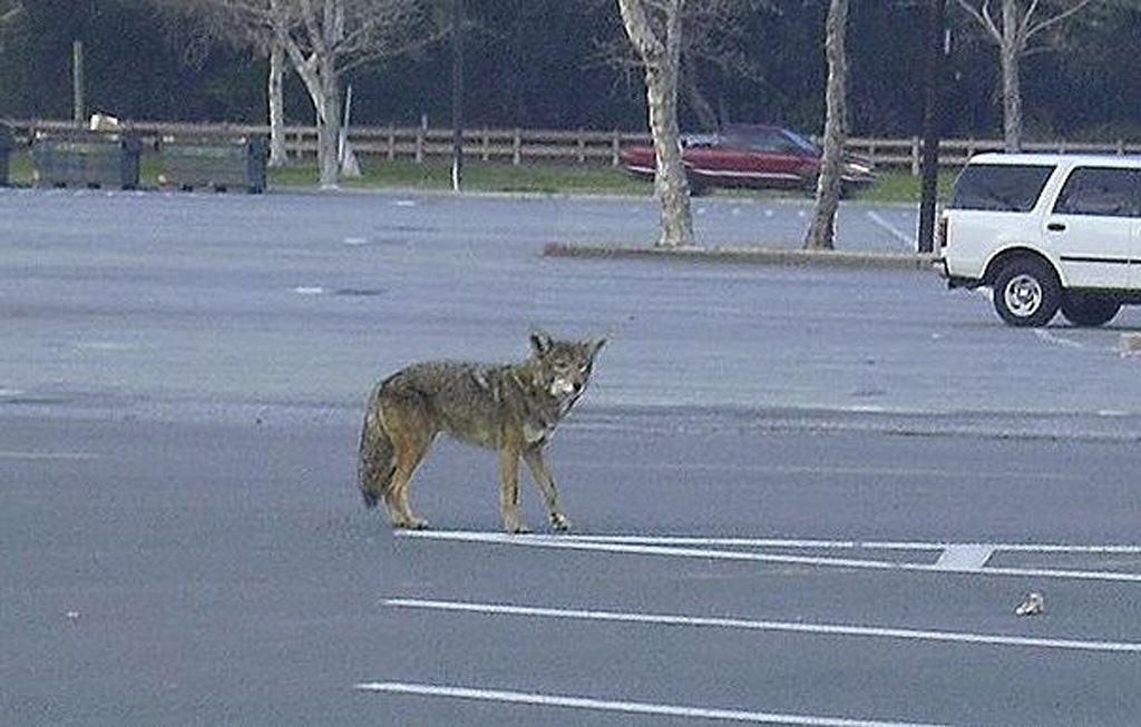 coyotes are abundant furbearers