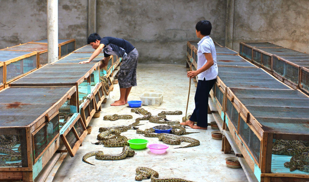 Gucci parent Kering farms pythons for leather
