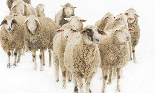 wool industry is under attack by PETA