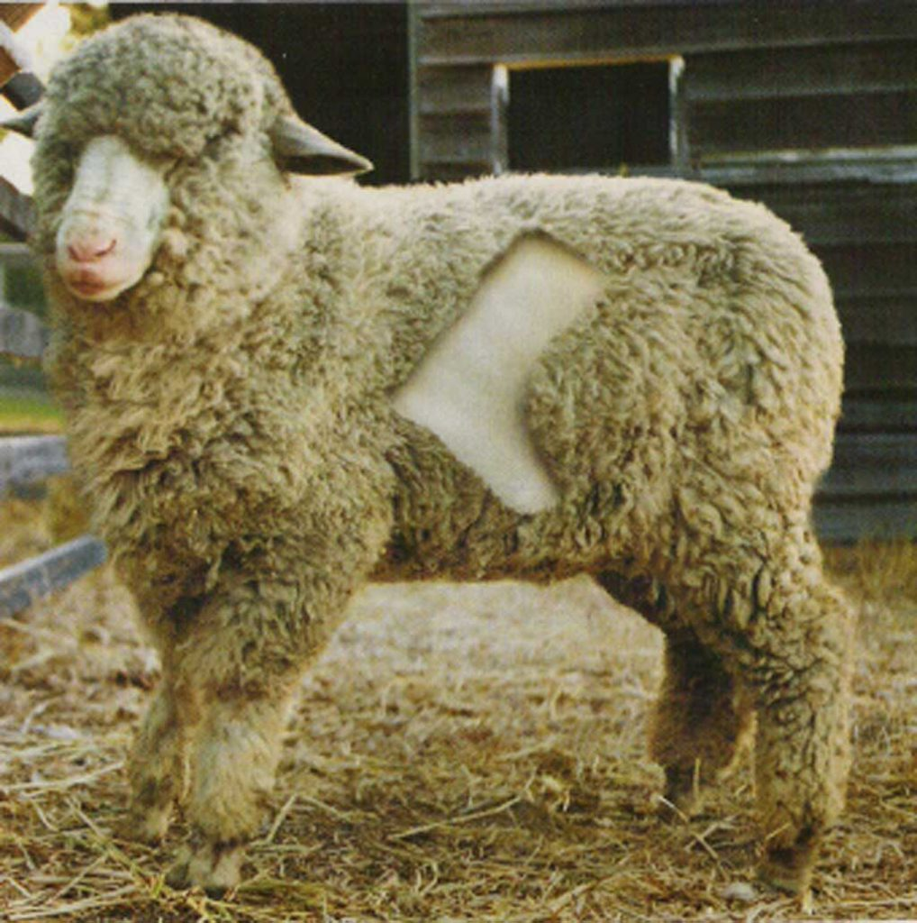 sheep fur is used to make Ugg boots