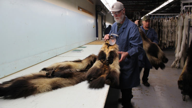 wild fur prices up