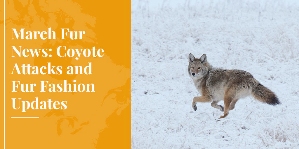 March Fur News: Coyote Attacks and Fur Fashion Updates