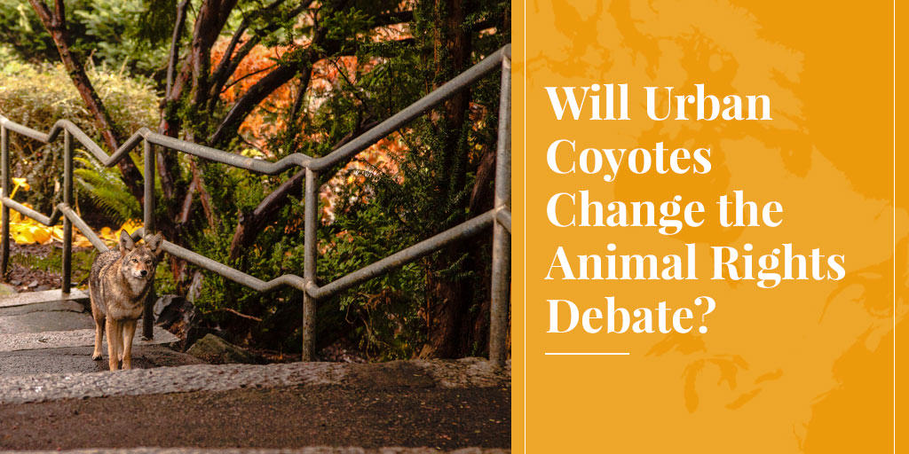 Will Urban Coyotes Change the Animal Rights Debate?