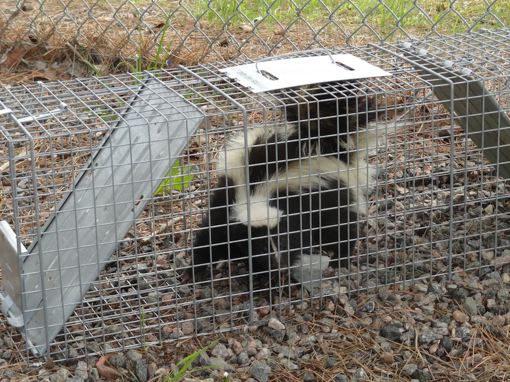 skunk in live trap