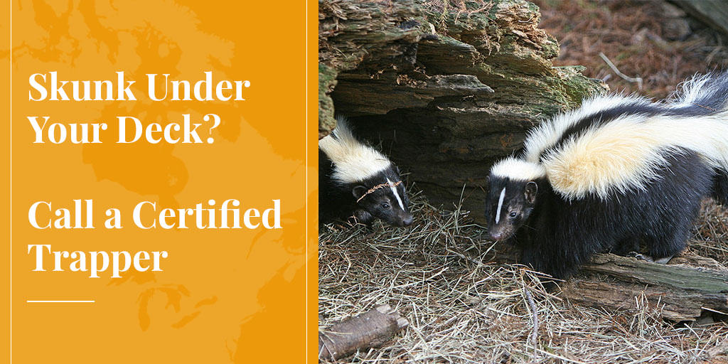Skunk Under Your Deck? Call a Certified Trapper