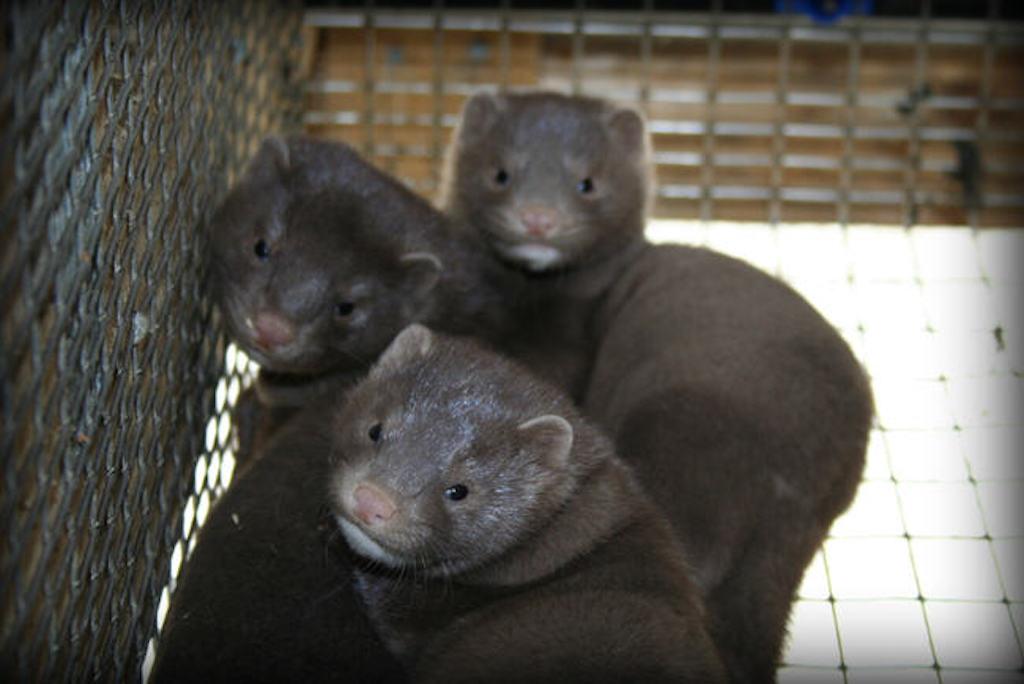 farmed mink eat left-overs