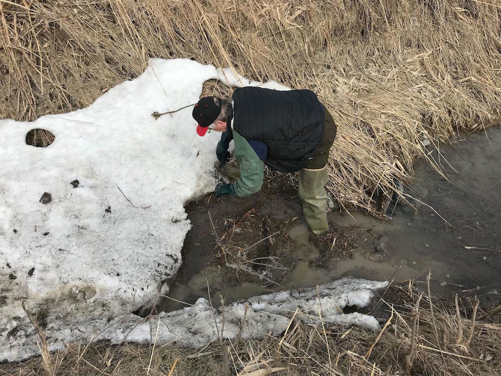 muskrat trapping habitat