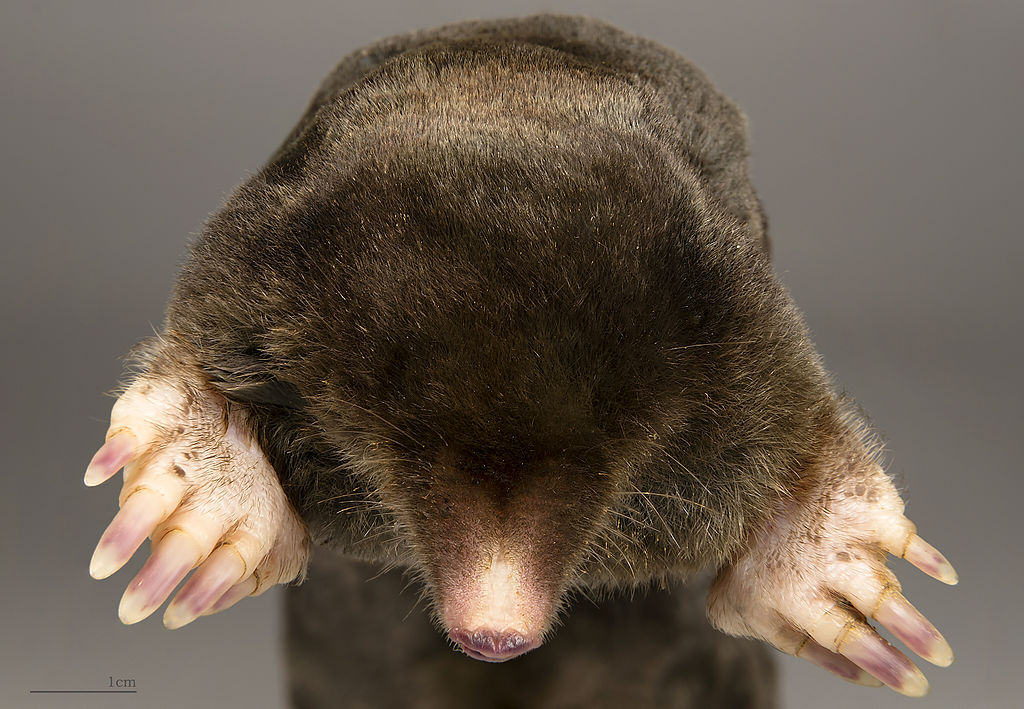 mole fur does not grow towards the tail