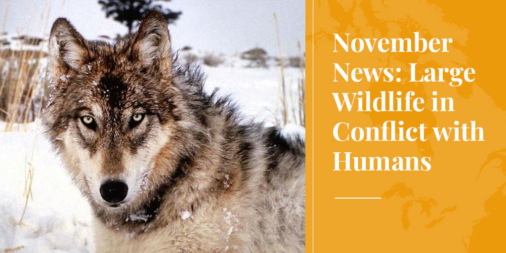 large wildlife are in conflict with humans