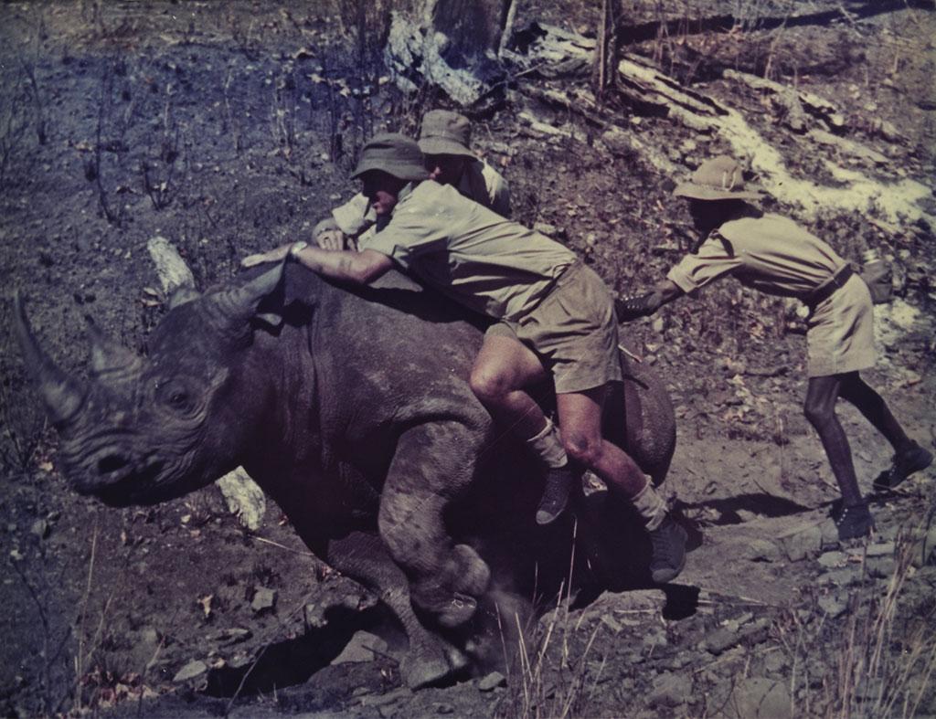 relocating black rhino