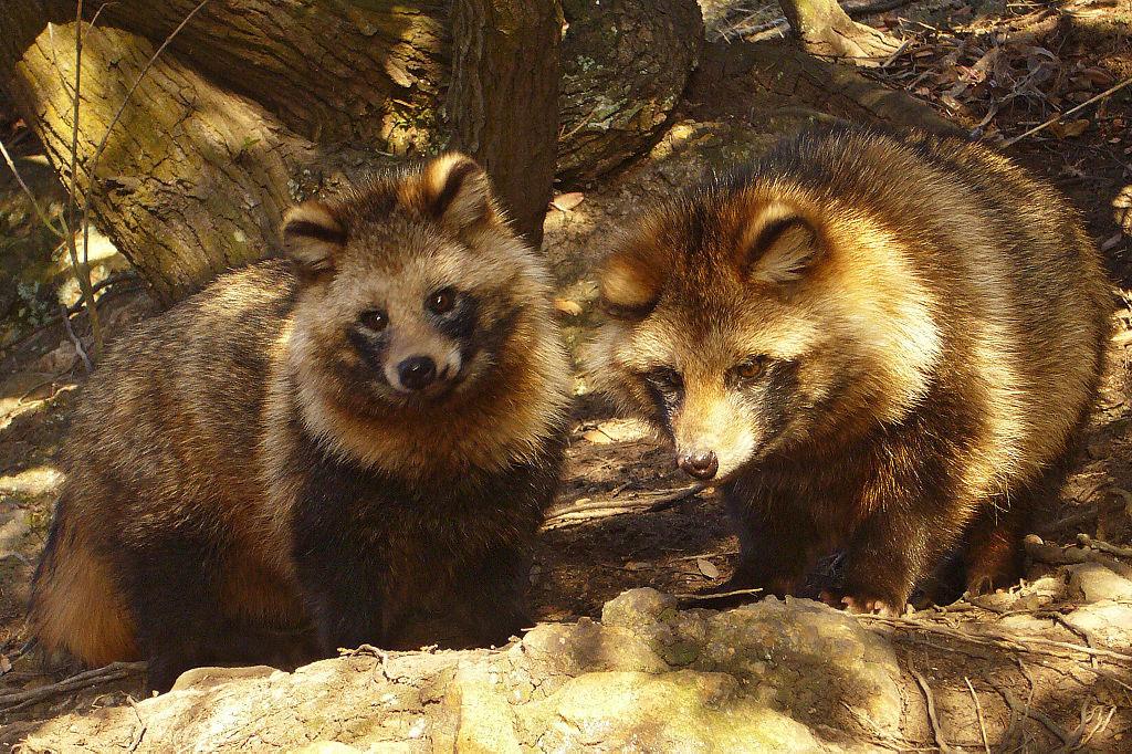 Asiatic raccoon