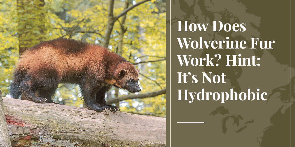 How Does Wolverine Fur Work? Hint: It's Not Hydrophobic