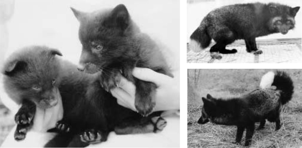 domestication of foxes by Dmitri Belyaev