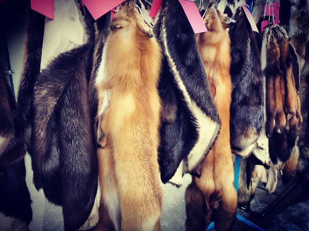 Fur Harvesters Auction dresses pelts