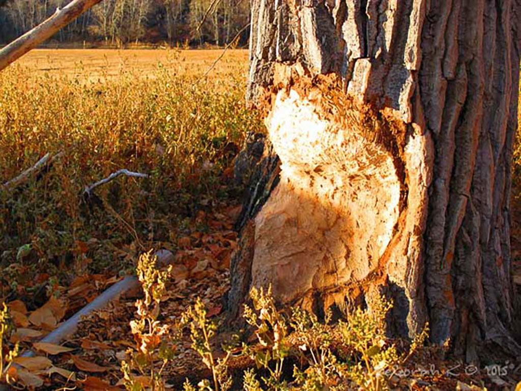 wild furbearers like beaver cause problems