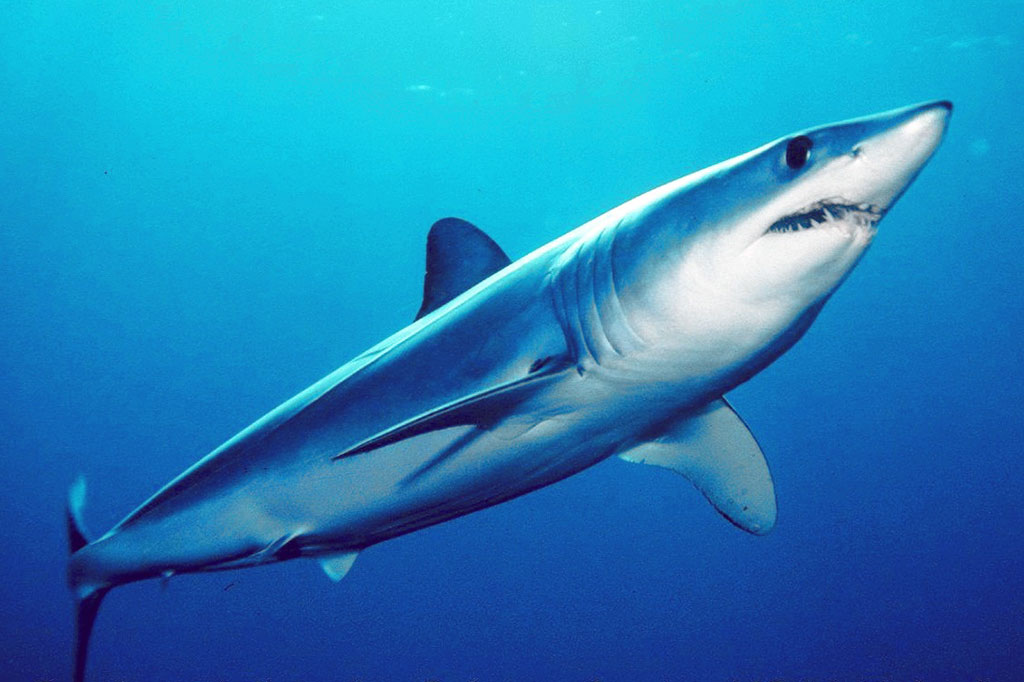 CITES lists mako shark