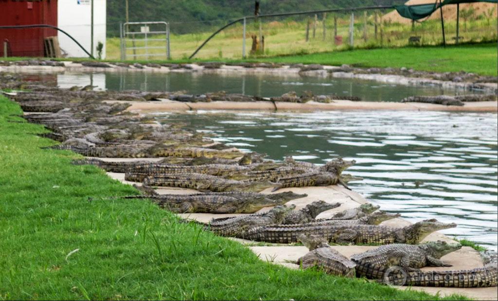 crocodile farm in South Africa